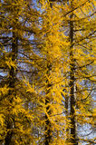 Autumn larch in the park Stock Images