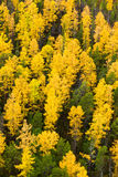 Autumn in Larch tree forest, top view Stock Photos