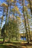 Autumn larch trees Royalty Free Stock Photos