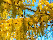 Autumn larch. Larch with yellow needles against the blue sky Stock Images
