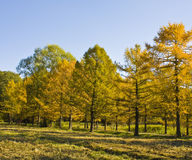 Autumn larches Royalty Free Stock Photography