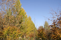 The autumn larches and beeches Stock Photos