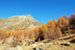 Autumn larches on mountain Royalty Free Stock Photo