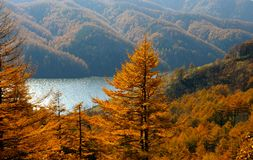 The Autumn larches and mountain  lake. Royalty Free Stock Photos