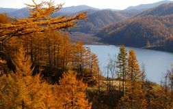 The Autumn larches and mountain  lake. Stock Photos