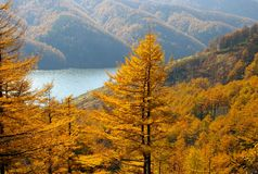 Autumn larches and mountain  lake. Royalty Free Stock Photography