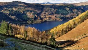 Autumn Larches, Thirlmere Royalty Free Stock Images