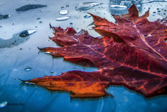 Autumn lastest drops. Shooting under the rain in a cold morning of end November royalty free stock photos