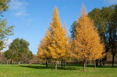 Autumn lawn in city square. Yellow larches, green willows, the blue sky royalty free stock images