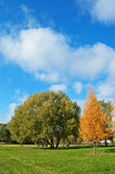 Autumn lawn in city square. Yellow larches, green willows, the blue sky Stock Photo