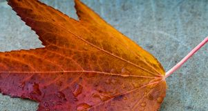 Autumn Leaf över en Gray Background Arkivbild