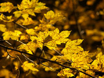 Autumn leaf 1. Autumn leaves in yellow colour Stock Images