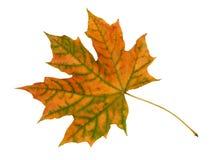 Autumn leaf. Autumn maple leaf isolated on white background stock images