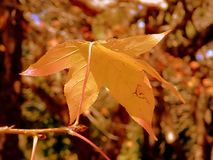 Autumn Leaf. A single leaf in golden autumn colour royalty free stock image