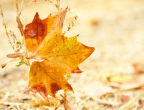 An Autumn leaf Stock Photography