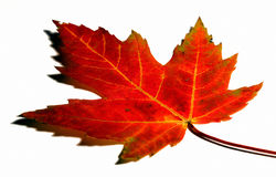Free Autumn Leaf Stock Photos - 11173183