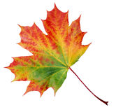 Autumn Maple Leaf. Maple leaf in the process of changing color isolated on white background Royalty Free Stock Photography