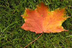 Autumn Leaf. Maple leaf lying on the lawn. One of the first leaves that fell from the tree Stock Images