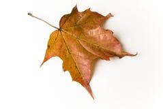 Autumn leaf. A studio shot of an autumn leaf Stock Photo