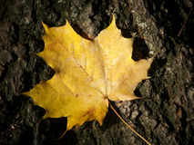 Autumn leaf 12. The leaf is on a gnarled bark Royalty Free Stock Photography