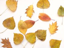 Autumn leaf 13 Royalty Free Stock Images