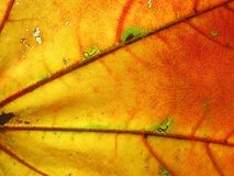 Autumn leaf. A leaf of a maple.Structure of a leaf royalty free stock photos