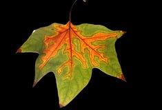 Autumn leaf. Maple leaf isolated on black Stock Photos