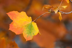 Autumn leaf. Colorful autumn leaf with shallow background Stock Photo
