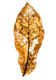 Autumn leaf. Close up of a decaying leaf, yellow and reddish in color on a plain white background Royalty Free Stock Photos
