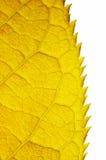 Autumn leaf. Part of golden autumn leaf isolated on white Stock Photo