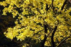 Autumn leaf. Beautiful tree in autumn park, Uman, Sofiyivka, Ukraine Stock Image