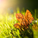 Autumn leaf. Autumn leaf in the grass with lens reflections from back light. Shallow deep of focus Royalty Free Stock Image