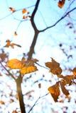 Autumn leaf. Autumn leaves against a blue sky with sun rays Stock Photography