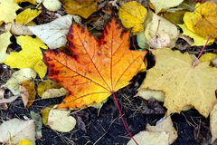The Autumn Leaf Royalty Free Stock Photography