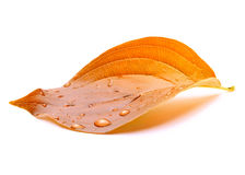 Free Autumn Leaf Royalty Free Stock Photography - 21569807