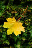 Autumn leaf. Yellow autumn leaf hanging in some pine Stock Images