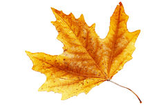 Autumn leaf. Stock Image