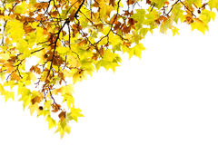 Autumn leaf. With yellow and green color on white background Royalty Free Stock Photography