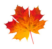Autumn Leaf. A maple Leaf in autumn