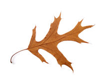 Autumn Leaf. A dried autumn oak leaf on a white background Stock Photography
