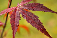 Autumn leaf. Beautiful red palmatum leaf with water drops Stock Photos