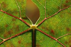 Autumn leaf. Autumn colors on a vine leaf Stock Photos