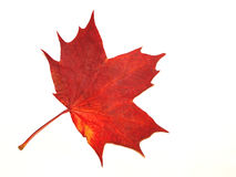 Autumn leaf. Red autumn leaf close-up Royalty Free Stock Photos