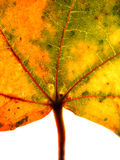 Autumn leaf. Close-up Royalty Free Stock Images