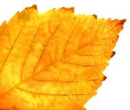 Autumn leaf. Yellow autumn leaf close-up Stock Image