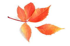 Autumn leaf. Royalty Free Stock Photography