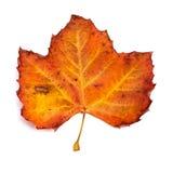 Autumn leaf. Beautiful colorful autumn leaf isolated on white background royalty free stock photography