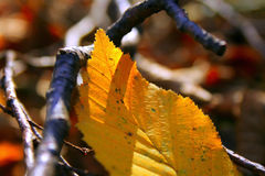 Autumn leaf Royalty Free Stock Image