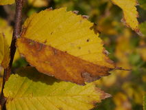 AUTUMN LEAF. Pattern against natural tree colors Royalty Free Stock Photography