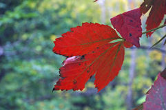 Autumn Leaf. Red maple leaf in autumn Stock Photos